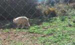 Lobo - Lobo (7 años)