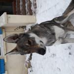 Lobo - Lobo Macho (1 año)