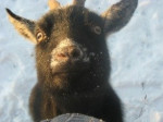 Cabra - (2 años)