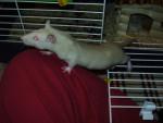 Rata - (7 meses)