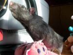 Ratón -