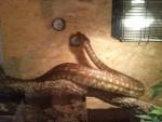 Serpiente - Macho
