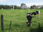 Vaca -